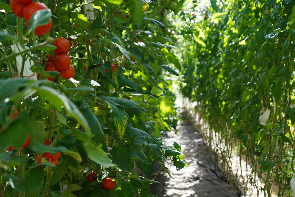 Tomatenanbau unter Glas